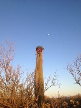 Cactus blooms in spring